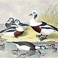 Plate XXI Birds by Theodore Jasper 1881