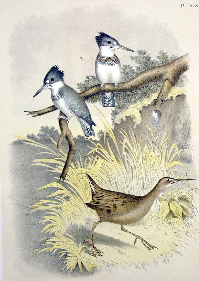 Plate XIX Birds by Theodore Jasper 1881