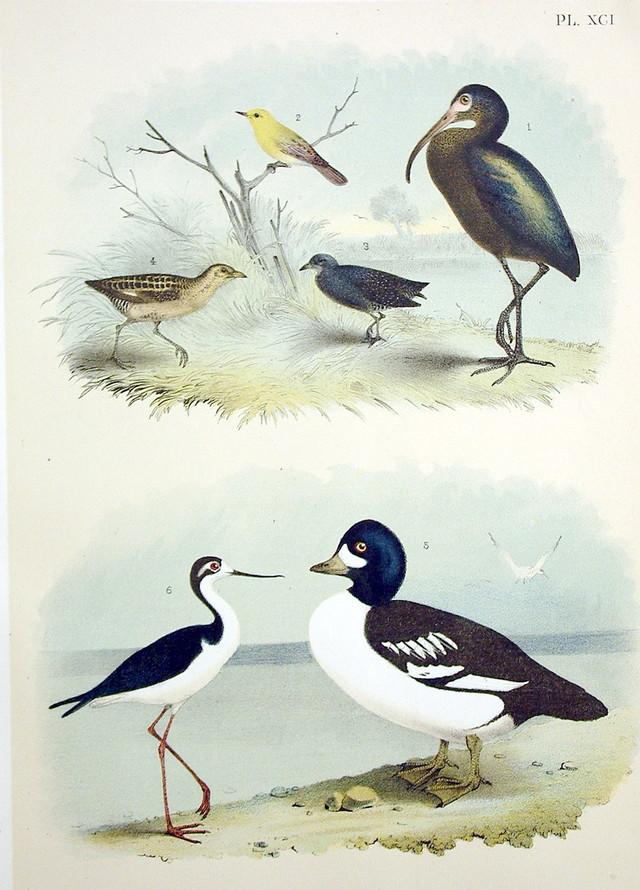 Plate XCI Birds by Theodore Jasper 1881
