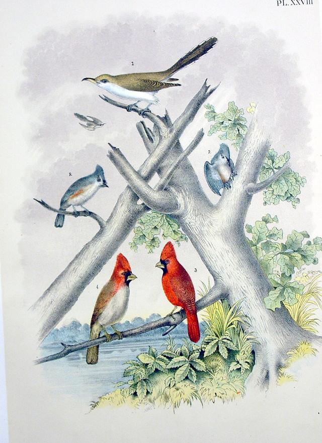 Plate XXVIII Birds by Theodore Jasper 1881