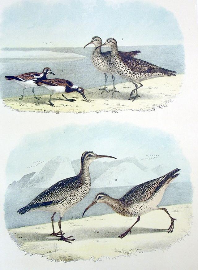 Plate XLV Birds by Theodore Jasper 1881