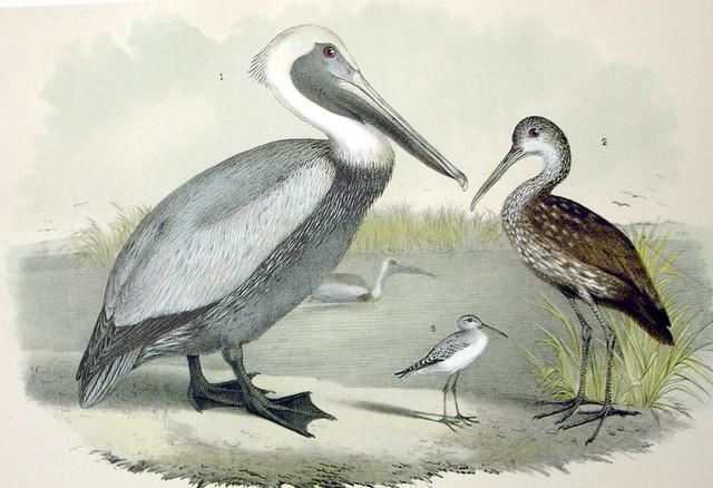 Plate LXXXIV Birds by Theodore Jasper 1881