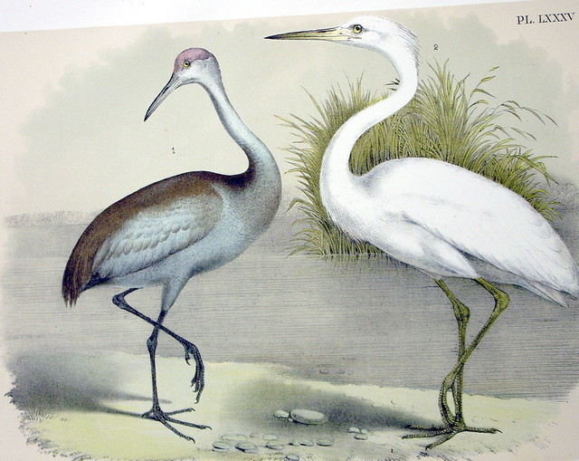 Plate LXXXV Birds by Theoore Jasper 1881