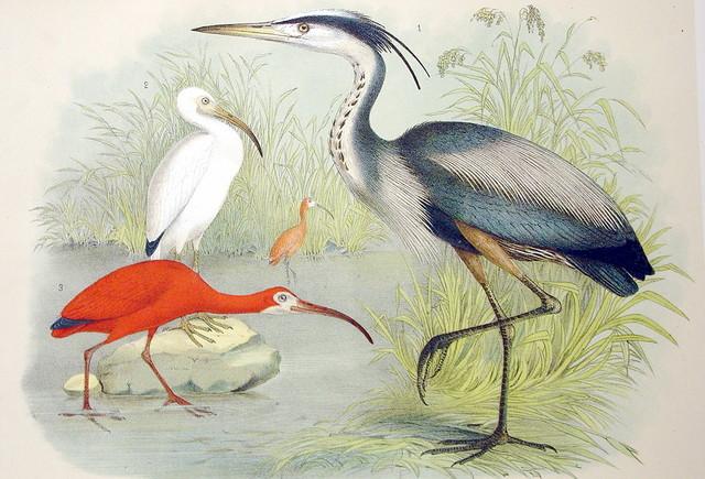 Plate LXXX Birds by Theodore Jasper 1881