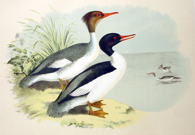 Plate XXV Birds by Theodore Jasper 1881