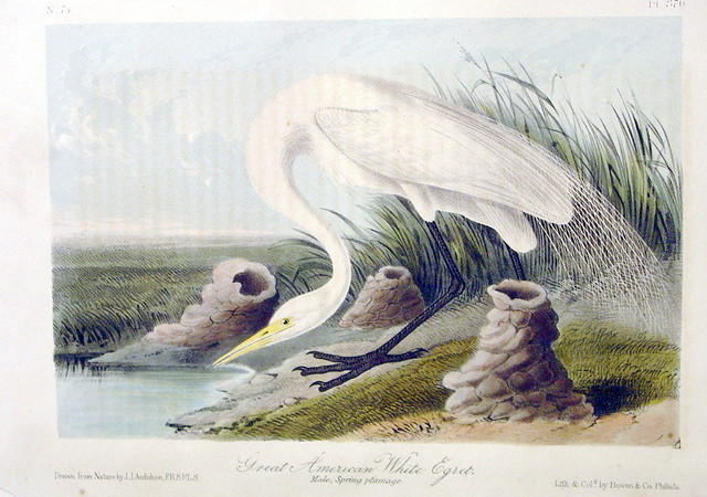 Great American White Egret