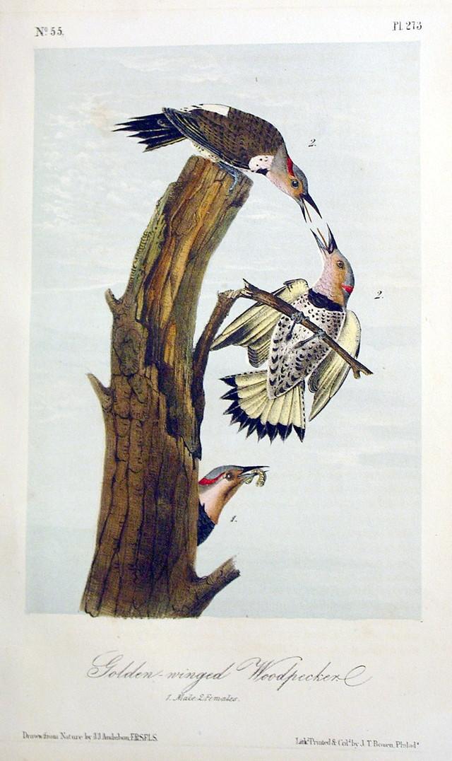 Golden Winged Woodpecker
