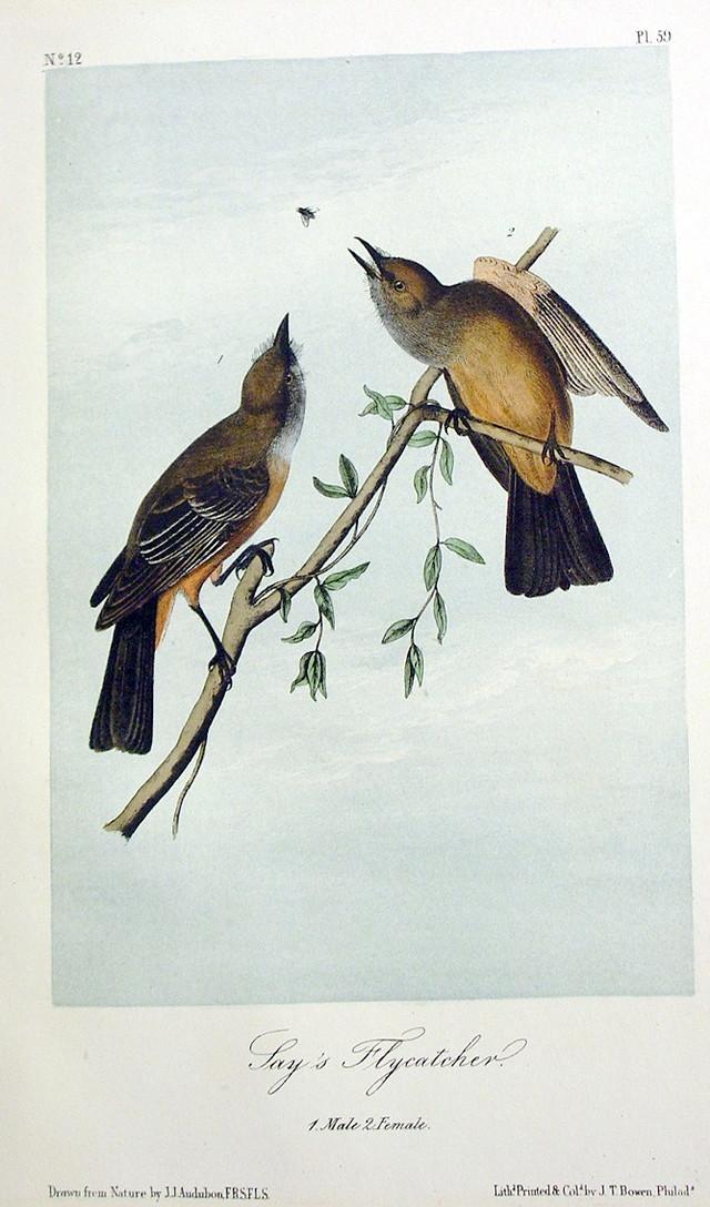 Jay's Flycatcher